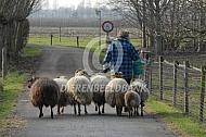 Drentse heideschapen verplaatsen