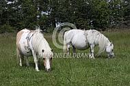 Twee pony's met geboortemelders