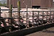 Groepshuisvesting varkens