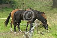 Paarden achter een een slechte afrastering