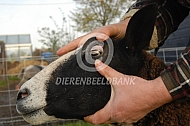 Controle kleur ooglid bij schapen