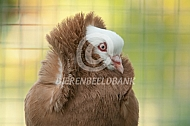 Oud Hollandse Kapucijnen