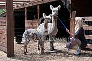 Appeloosa alpaca met cria