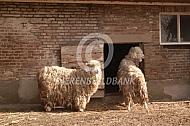 Angora geiten
