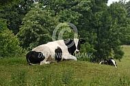 Zwartbont jongvee in Engeland