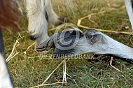 Verwaarloosde klauw van een geit