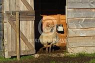 Drentse heideschapen bij hun stal