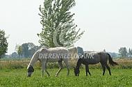 Oud paard met jaarling