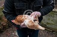 Een kip vasthouden en inspecteren