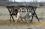 Texels schaap bij hooiruif