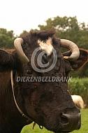 Kopstudie oude koe van het koeienrusthuis