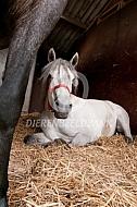 Liggend paard in de stal