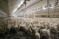 Vleeskuikens in een stal