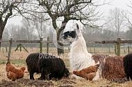 Liggende met kippen en ouessant schapen