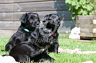 Pups van het markiesje