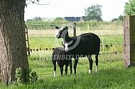 Nederlandse Zwartbles schapen