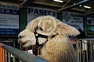 Alpacashow (Suri)