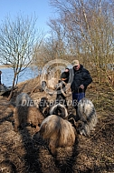 Nederlandse Landgeit bokken