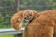 Staart van de alpaca