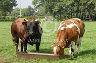 Verbeterd roodbonte stier en koe