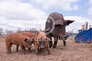 Duroc vleesvarken met biggen