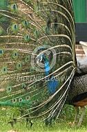 Pronkende blauwe pauw