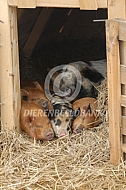 Biggen en zeug in het varkenshok