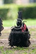 Chabo krulveer (zwart)