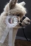 Alpaca op de keuring