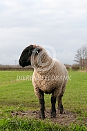 Suffolk schapen