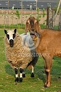 Nubische geit en Kerry Hill schaap