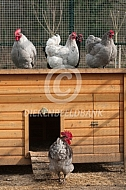 Orpington kriel voor het kippenhok