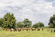 Lakenvelder koeien in de wei