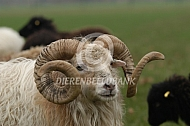 Ouessant ram