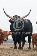Het Tauros project  (Maremmana stier)
