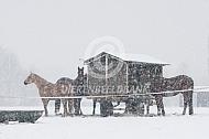 Paarden in de winter bij hooiruif