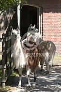 Lama's voor de stal (Lama glama)
