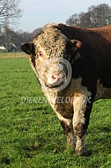 Hereford stier