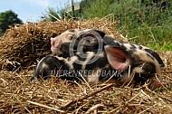 Biggen van het Kunekune varken