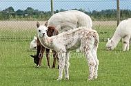 Cria alpaca suri
