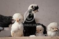 Hollandse kuifhoen kuikens