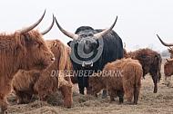 Maremmana stier tussen de hooglanders