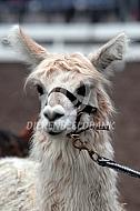 Suri alpaca tijdens de keuring