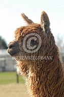 Close up suri alpaca