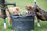 Erfhonden drinken uit de waterbak