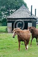 Paard met cushing