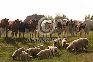 Walliser Schwarznase met nieuwsgierige koeien