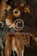 Mini Zebu op stal