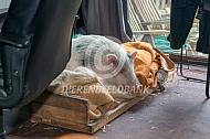 Huisvarken in huis