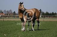 Paard met drinkend veulen